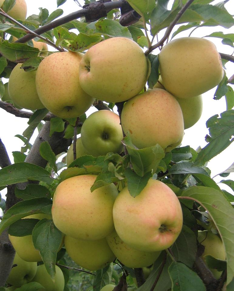 The genome of the Golden Delicious apple has been sequenced (Photo: Glysiak)