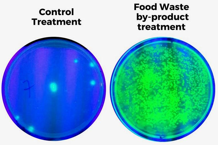 Populations of Pseudomonas bacteria found in a control group of plants (left) and in those watered with the digestate (right)