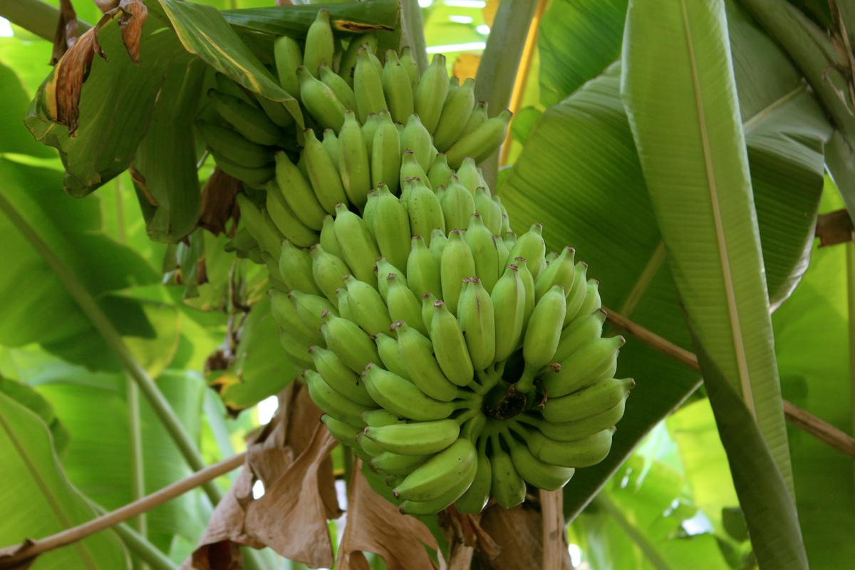 Although all plants are a potential source of nanocellulose, banana plants' high cellulose content makes them particularly well-suited – along with the fact that new plants are grown every year