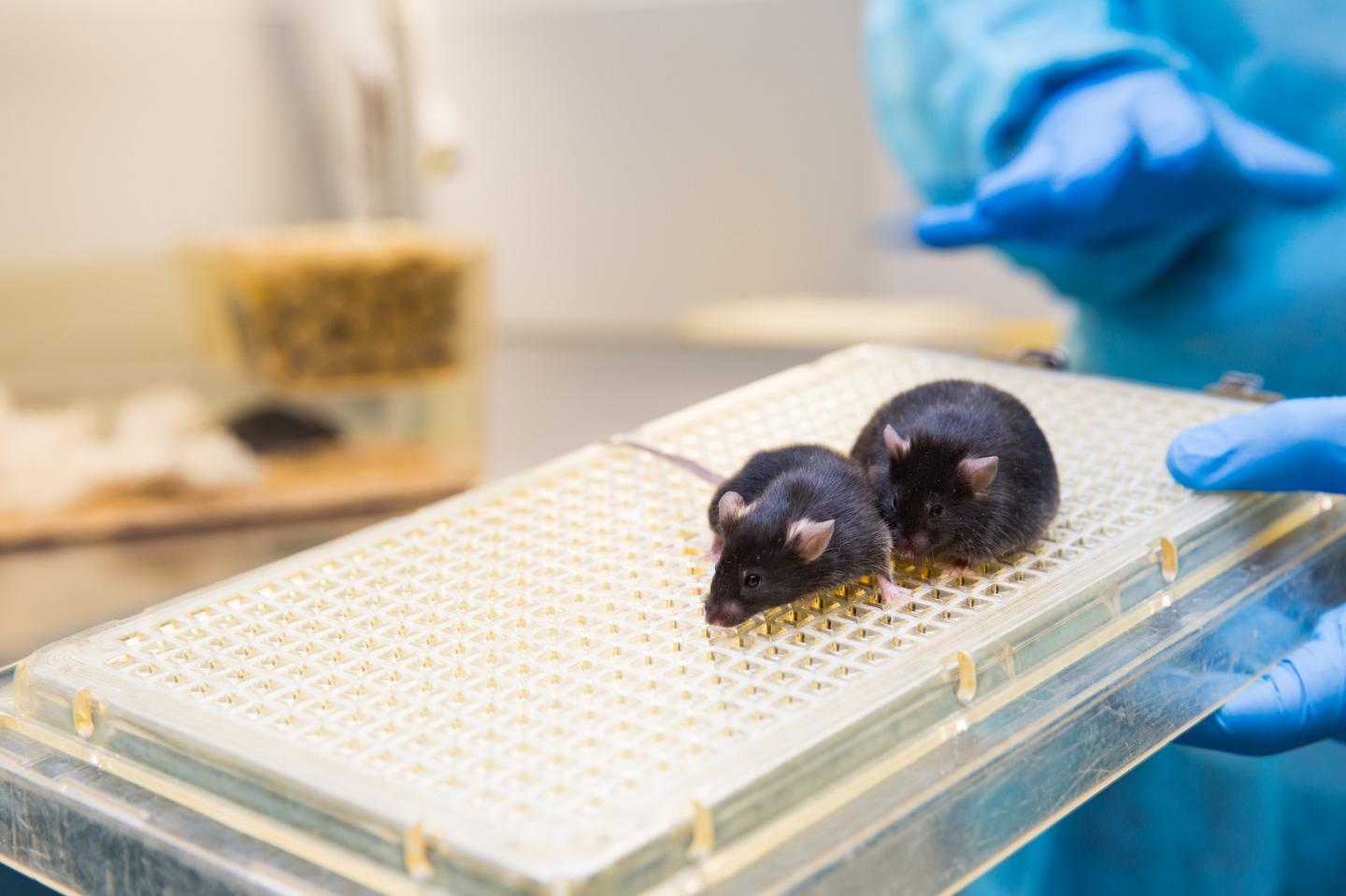 UCI MIND, the University of California, Irvine's Institute for Memory Impairments and Neurological Disorders, has announced a major breakthrough in its Alzheimer's research: the creation of a mouse with active human brain cells that can be ethically tested in the ongoing race for a cure