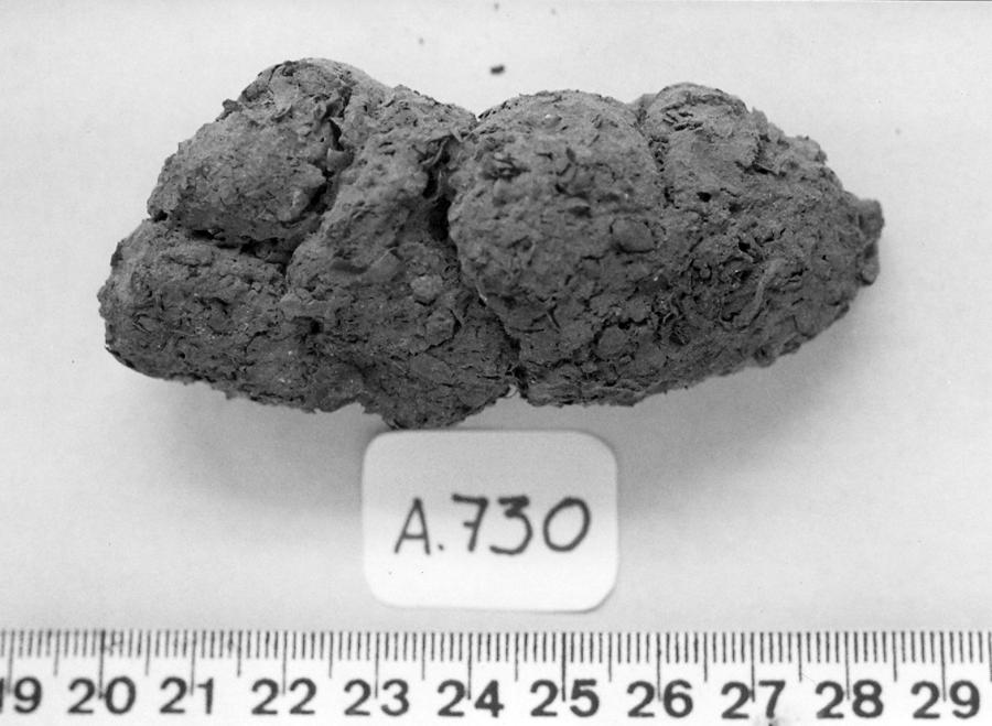 A coprolite from the Furna do Estrago archeological site in northeastern Brazil