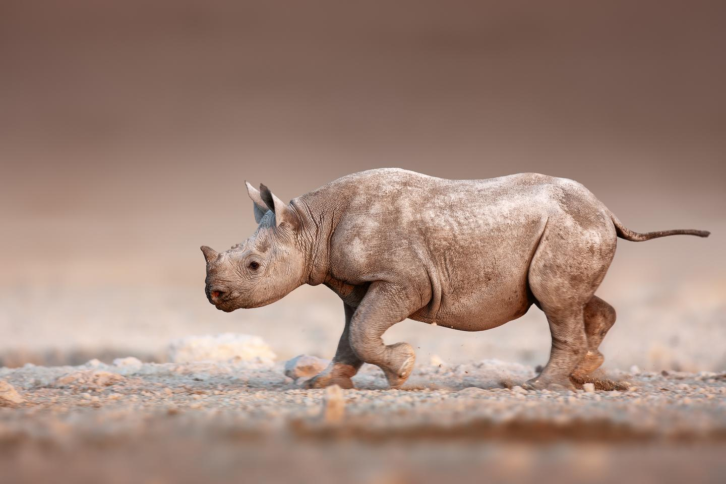 A baby black rhinoceros leaves its telltale footprints in the soil