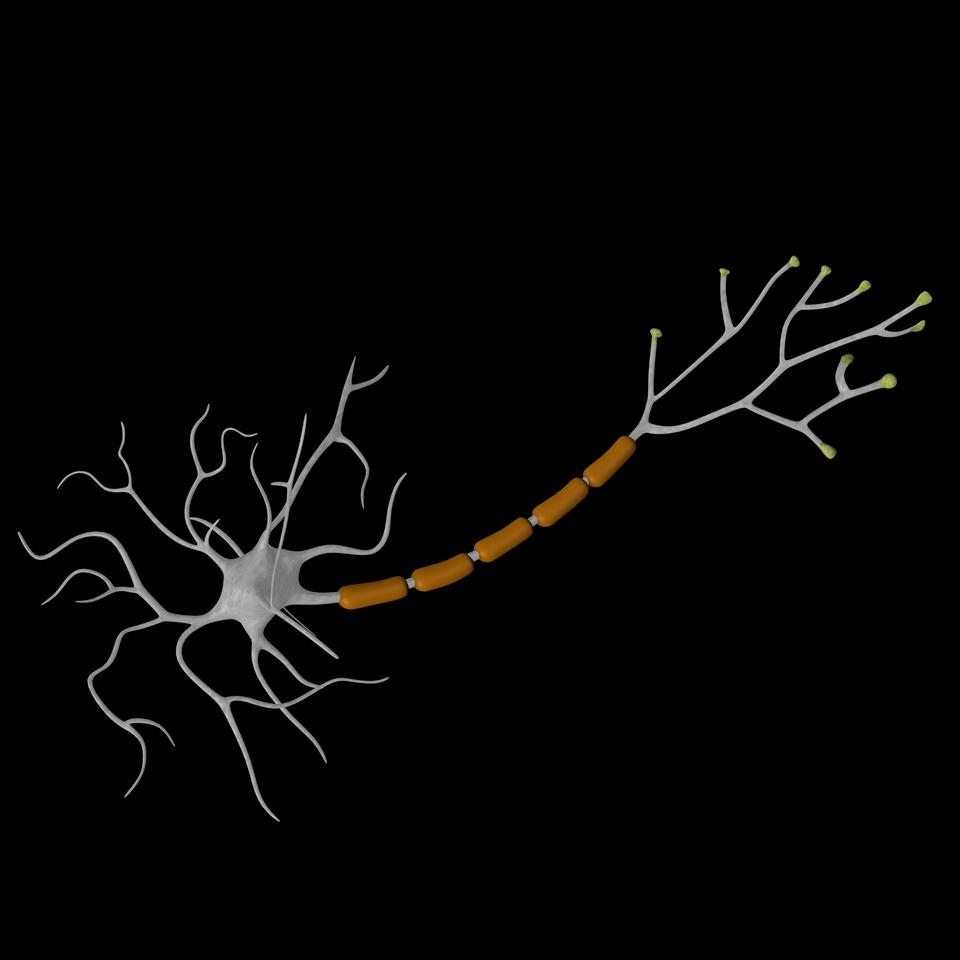 A nerve cell, with the myelin sheath shown in brown (Image: Shutterstock)