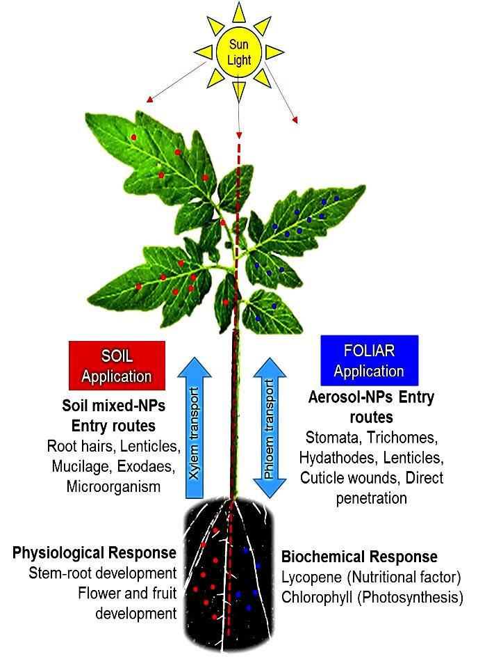 The different effects of the application of nano nutrients on a tomato plant