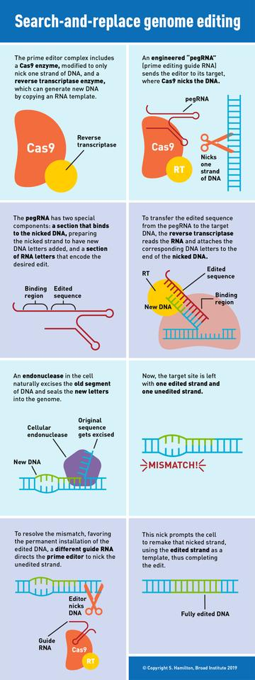 A graphic showing how the new CRISPR prime editing system works
