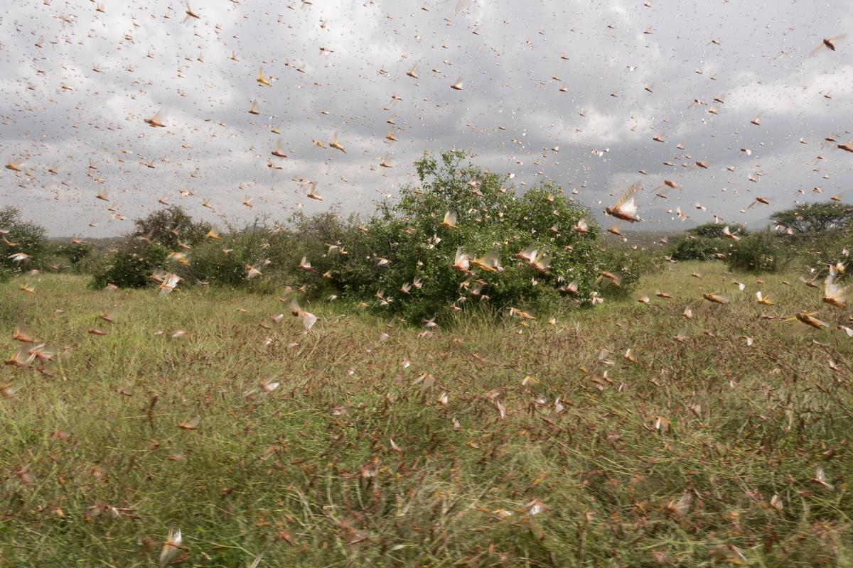Scientists have identified a key chemical that causes locusts to swarm