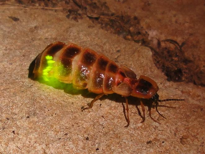 The enzyme that allows fireflies to glow could be used to monitor the effectiveness of an anti-blood-clotting medication (Photo: Nevit Dilmen)