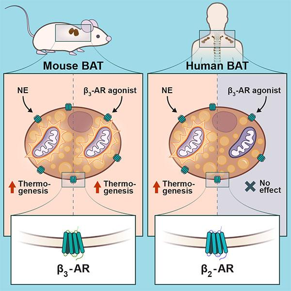 A diagram showing the different receptors in mice and humans that could activate brown adipose tissue (BAT)