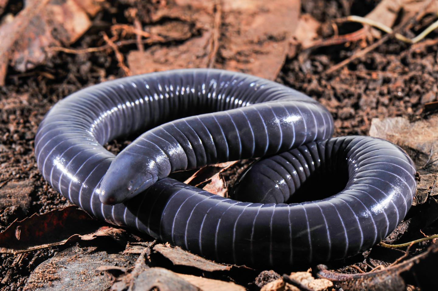 The ringed caecilian, Siphonops annulatus