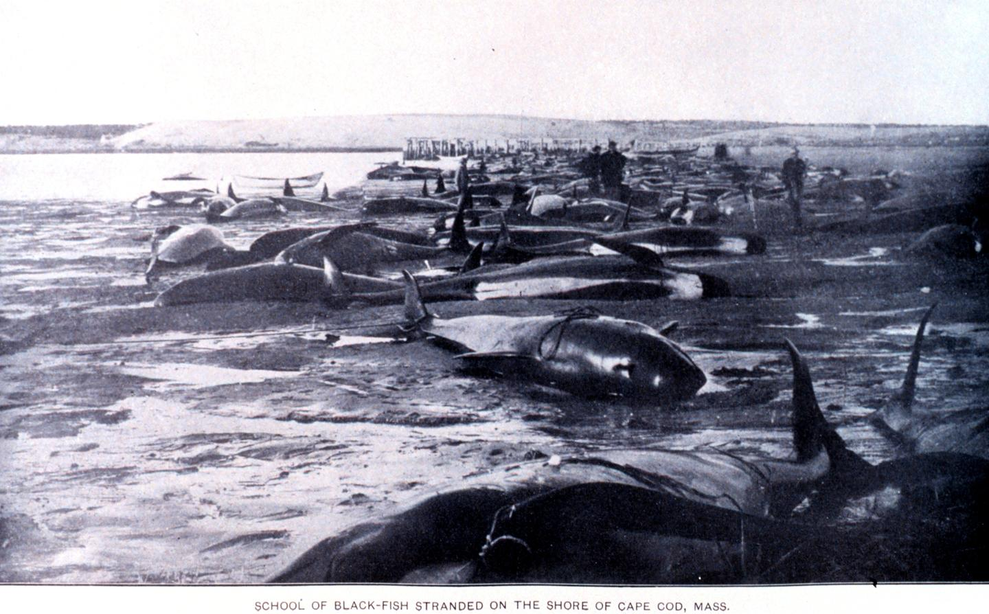 A mass stranding of Blackfish on the shore of Cape Cod, Massachusetts around the turn of the 20th century