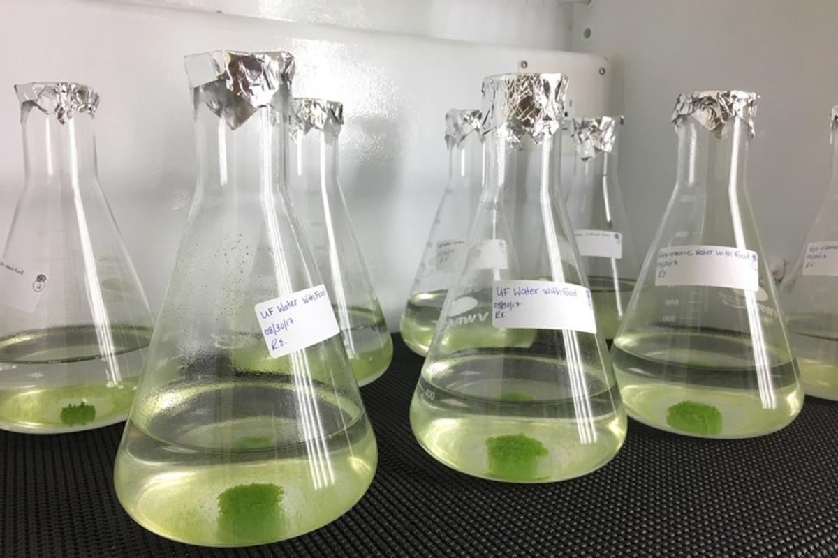 Samples of Nannochloris grow in the Environmental Engineering Laboratory at the Desert Research Institute
