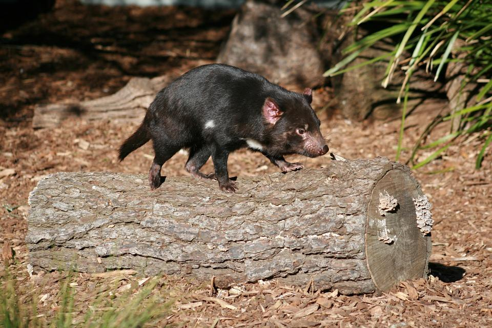 A small portion of the Tasmanian devil population might be evolving resistance to a deadly form of cancer
