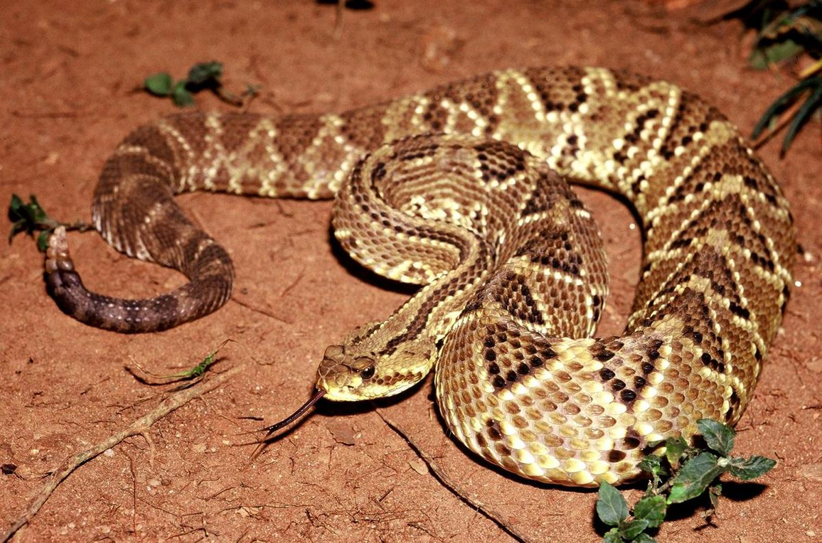 Crotoxin, found in the venom of this South American rattlesnake, may be a promising new painkiller targeting neuro