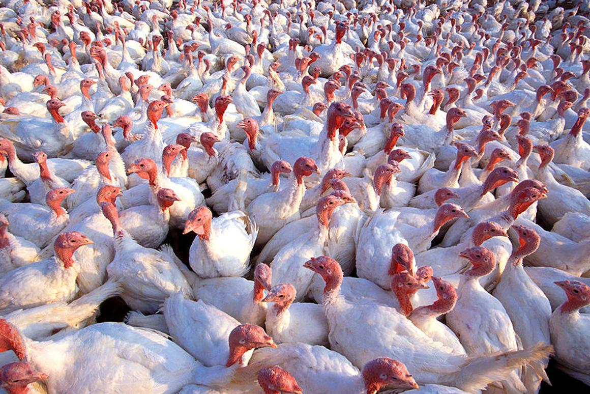 US scientists have mapped 90 percent of the domestic turkey genome