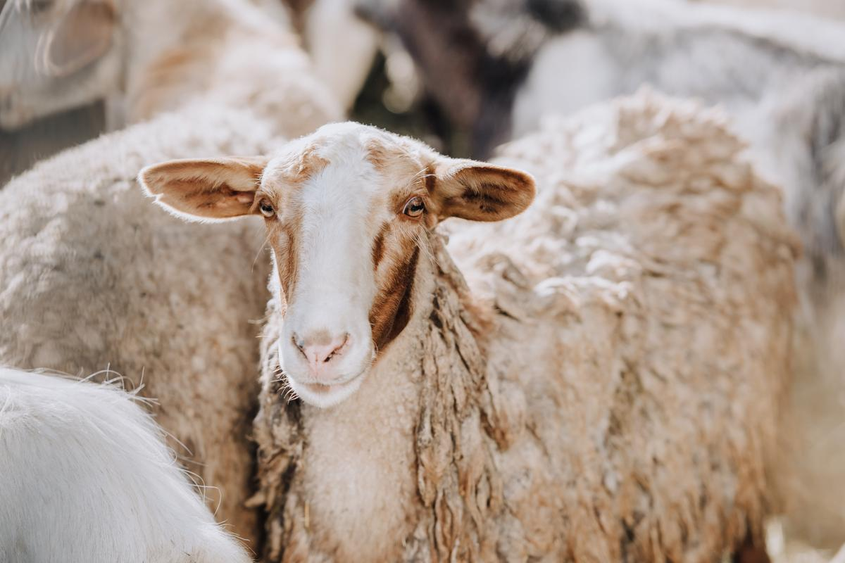 """Each of the sheep in the study had four """"bioreactors"""" implanted onits ribs"""