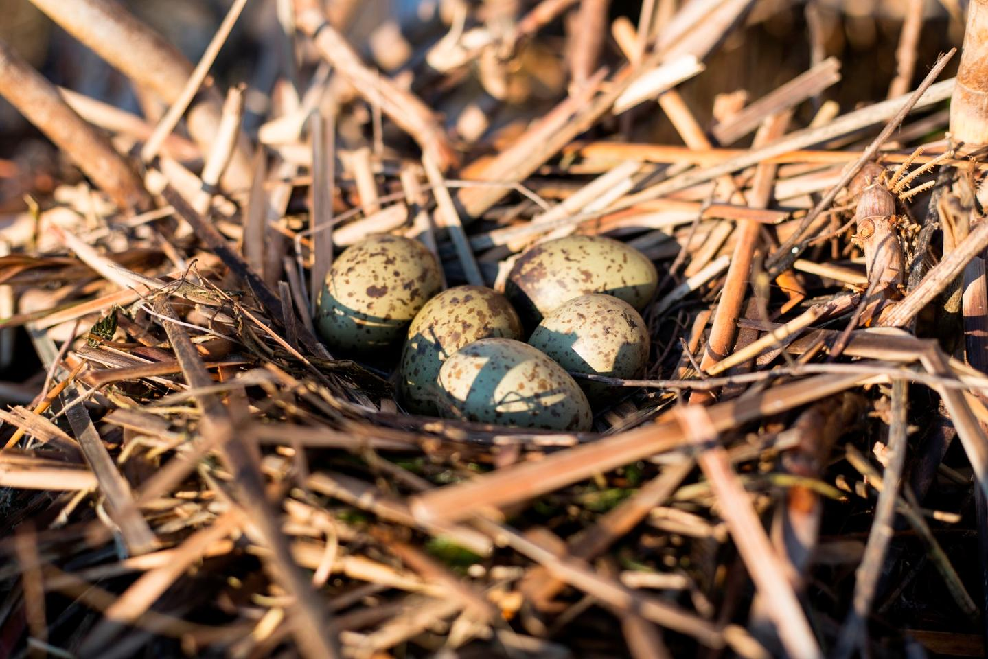 Research suggests that gull embryos can communicate important environmental information to each other before hatching