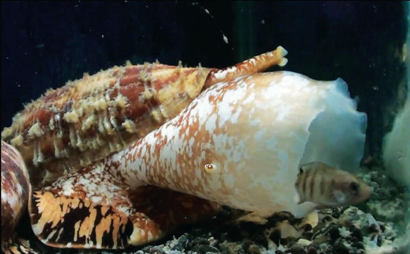 The cone snail uses insulin to stun its predators