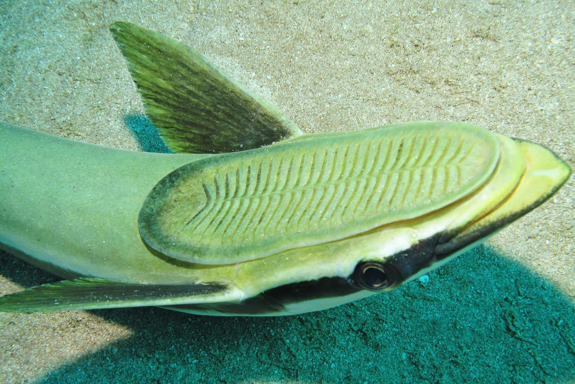 The remora family of fish have a suction cup structure on the back of their head that allows them to latch onto sharks and other animals