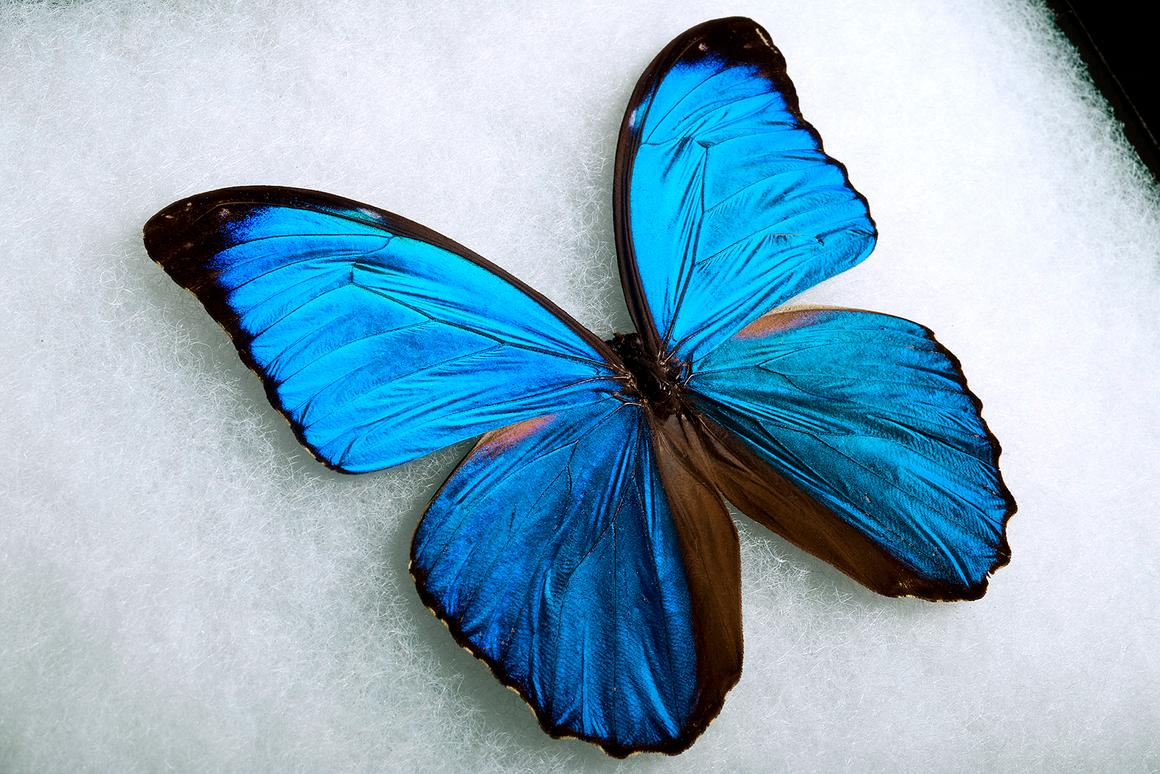 A male Giant Blue Morpho (Photo: Jo McCulty, courtesy of Ohio State University)
