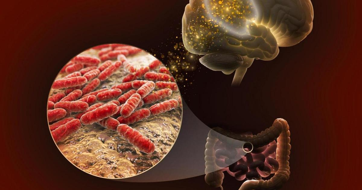 New molecular insights into how gut bacteria influences memory