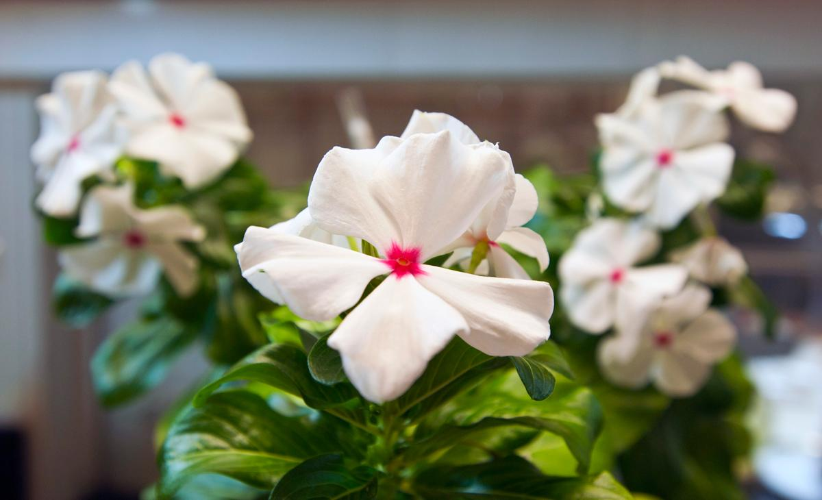 The periwinkle plant, also known as Catharanthus roseus, produces several compounds with medicinal properties, including the anticancer drug vinblastine (Image: Patrick Gillooly)