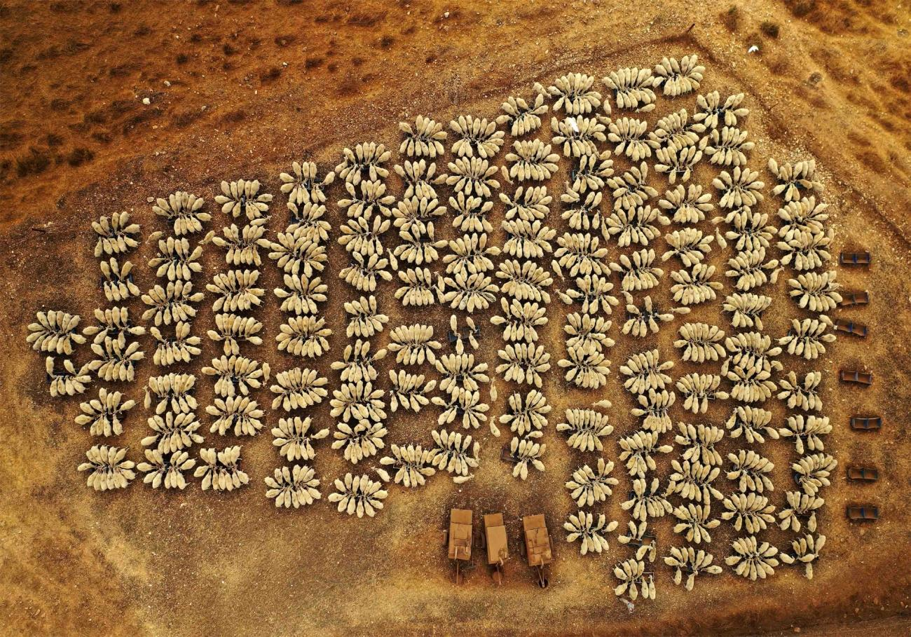 Commended - Wildlife. Sheep in Congress. Ramot Menashe (Israel)