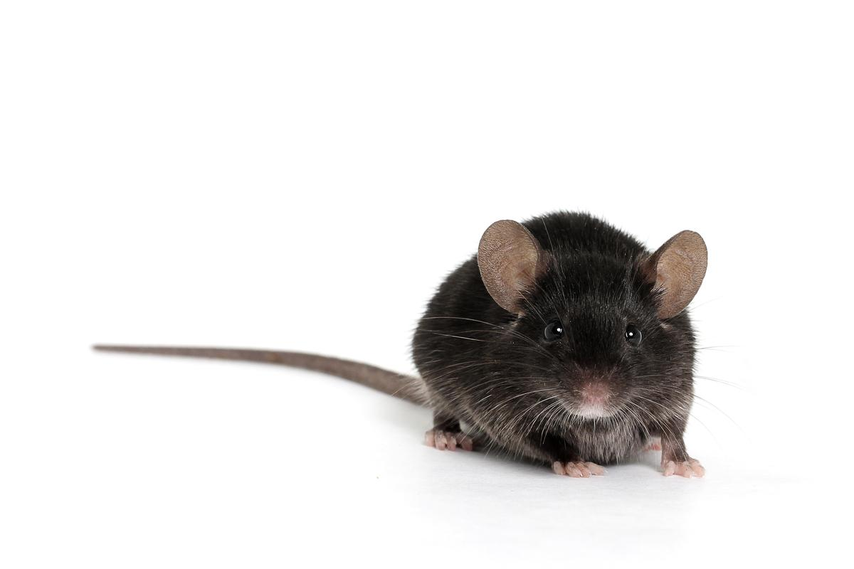 Deaf mice have regrown synapses that allow them to hear – a treatment for humans might be on its way (Photo: Shutterstock)