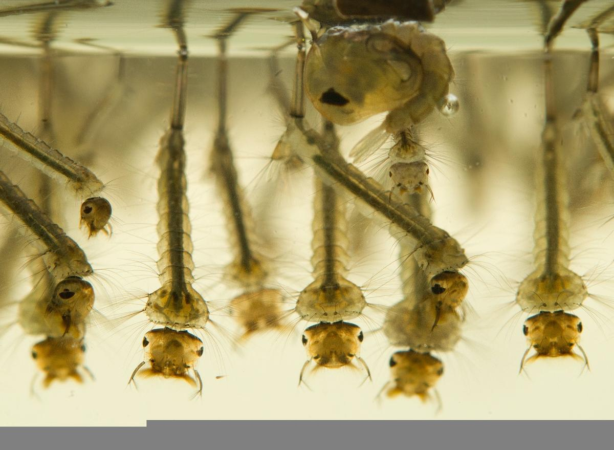 Mosquito larvae are reportedly no match for chitin/silver nanoparticles