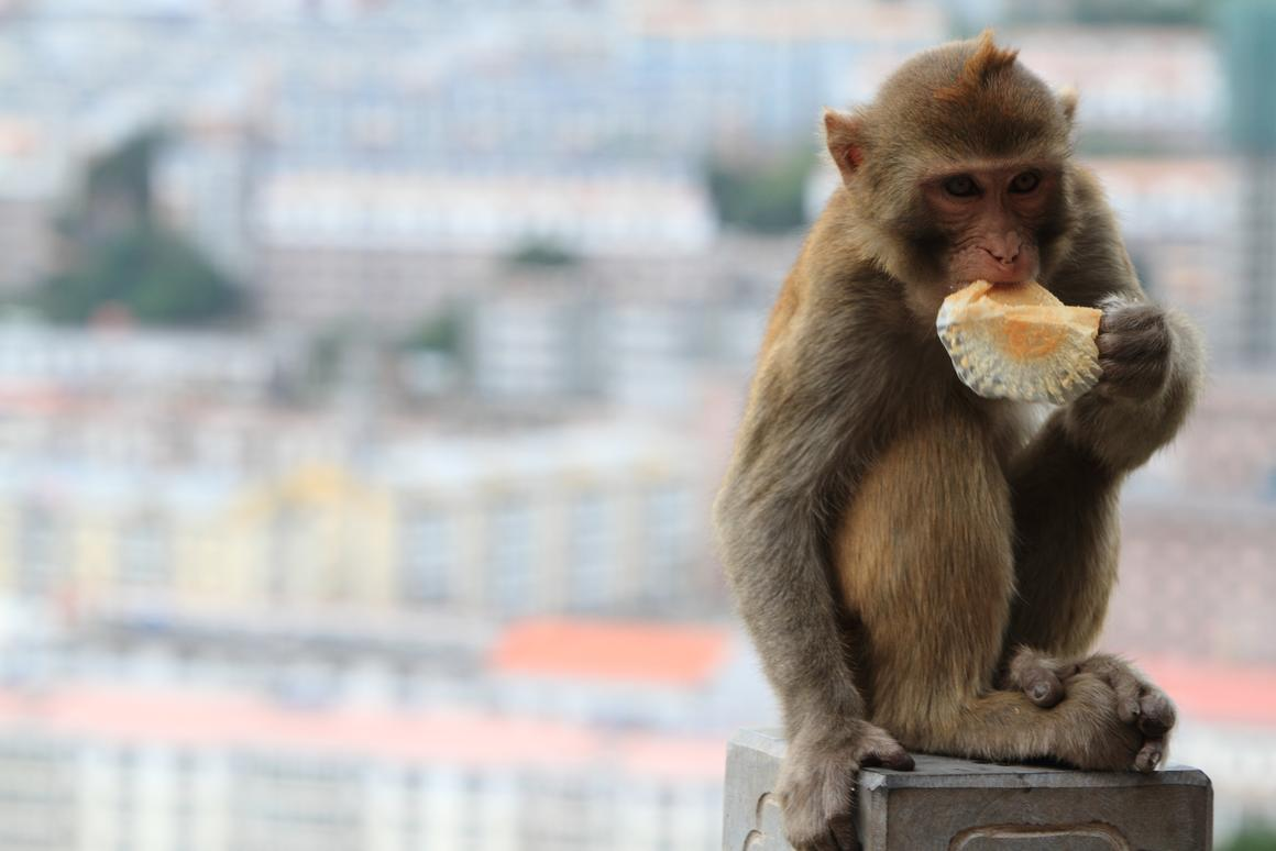 A study of the ways in which monkeys grasp objects may lead to advances in prostheses for humans