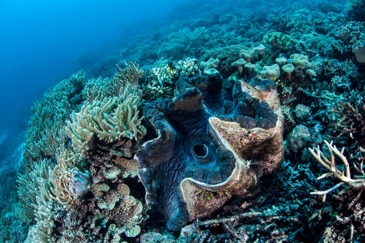 A Tridacna giant clam, still in the process of producing its telltale growth bands