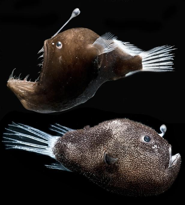 The researchers studied bacteria from two species of anglerfish, the humpback blackdevil (top) and triplewart seadevil (bottom)