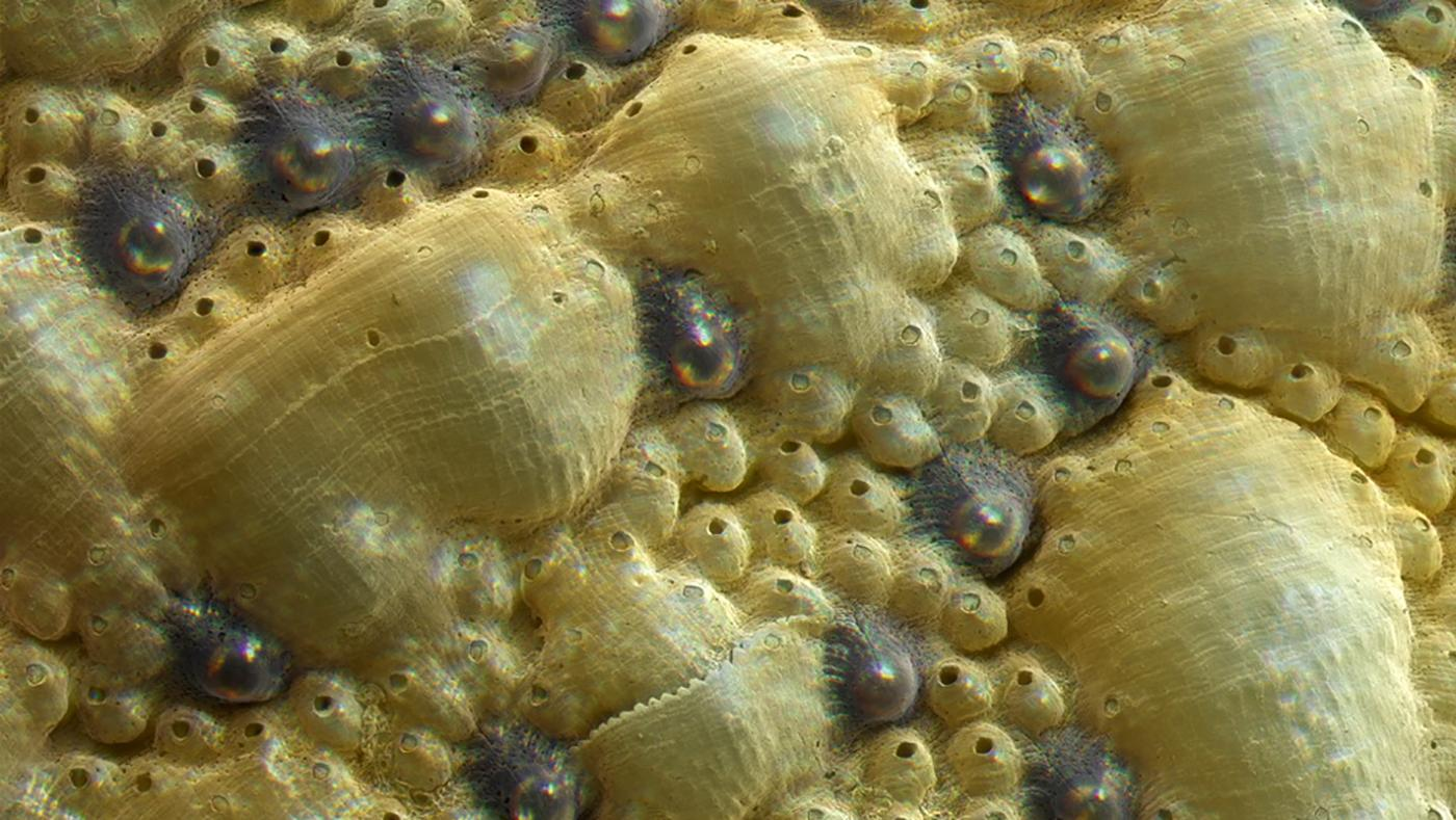 A close-up of view of the chiton's eyes