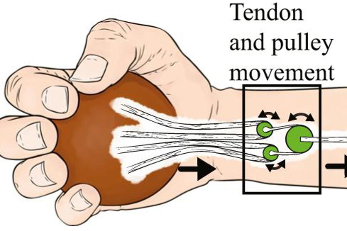 A pulley mechanism developed at OSU may some day be implanted into the hands of people with nerve damage and help them regain a more natural grasping ability with their fingers (Image: OSU)