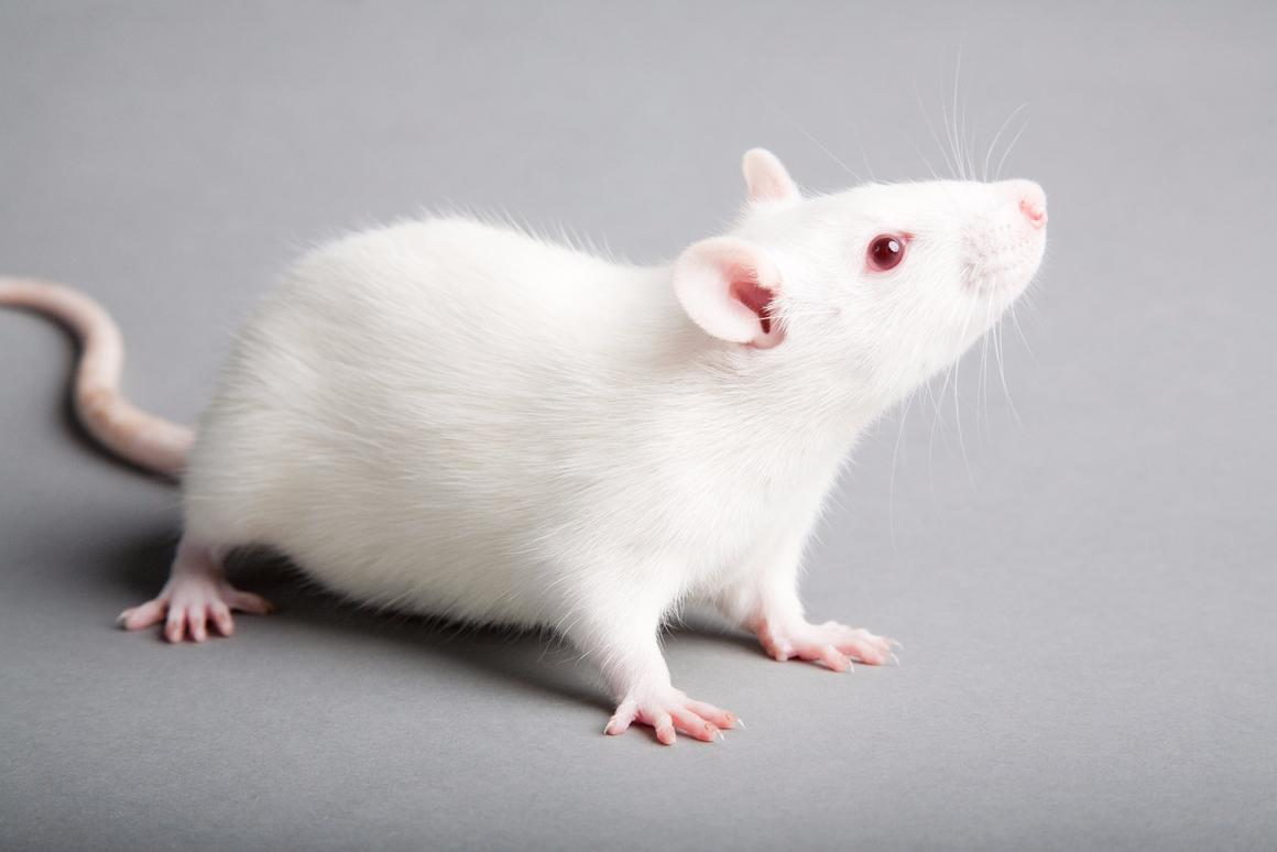 The treatment only works on rats, for now