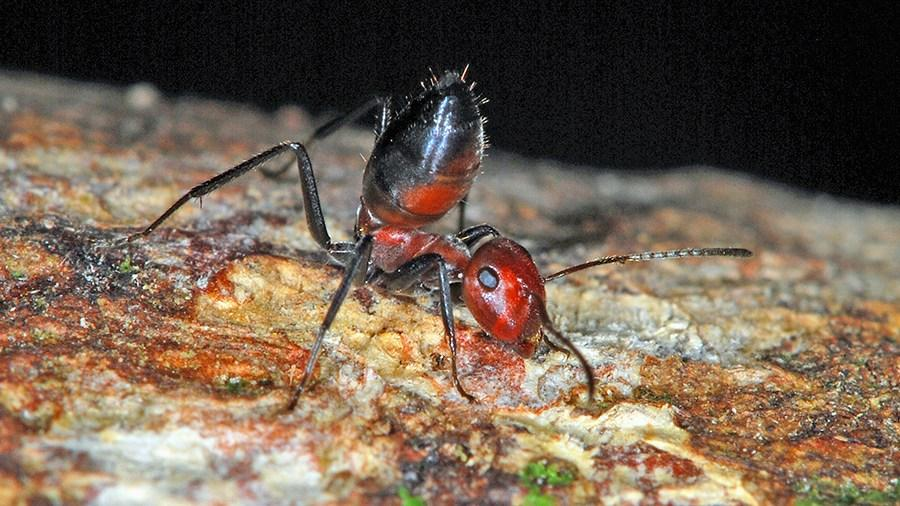 As the first exploding ant described since 1935, Colobopsis explodens has now been selected as the model species for the group