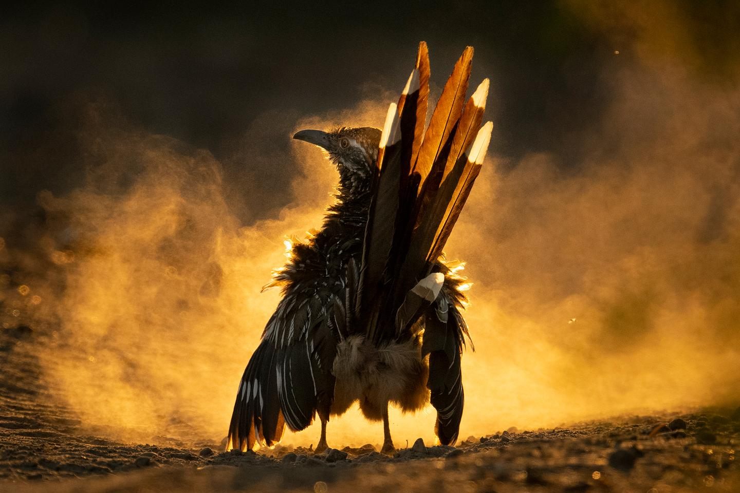 In the midst of an evening dust bath, a Greater Roadrunner stands proudly, backlit by the sun. Nikon D500 with Nikon 500mm f/4.0 lens; 1/3200 second at f/6.3; ISO 2000