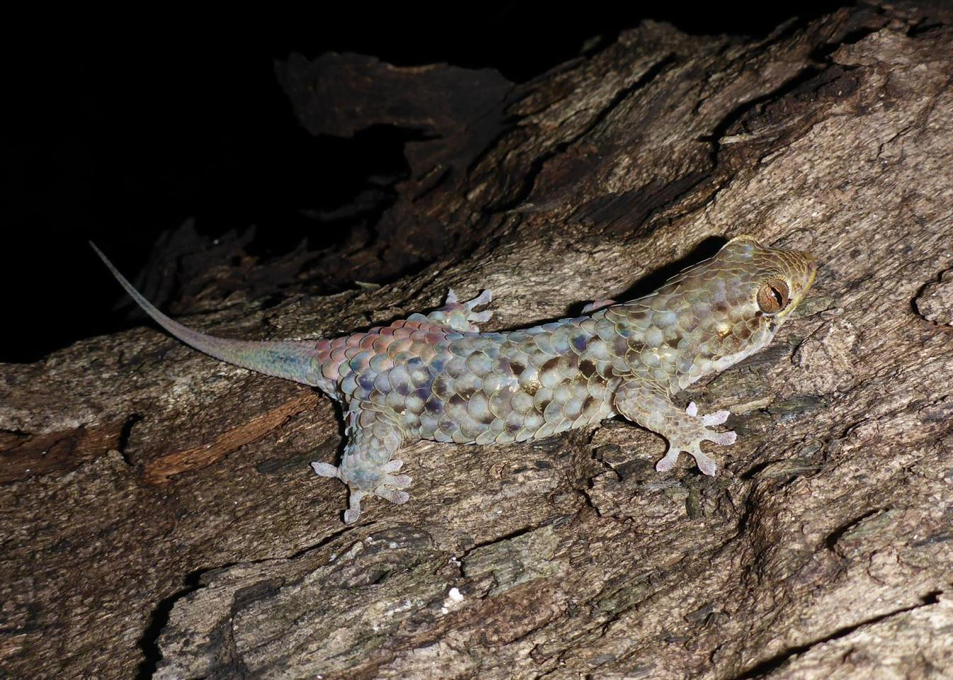 Geckolepis megalepis, with its scales intact
