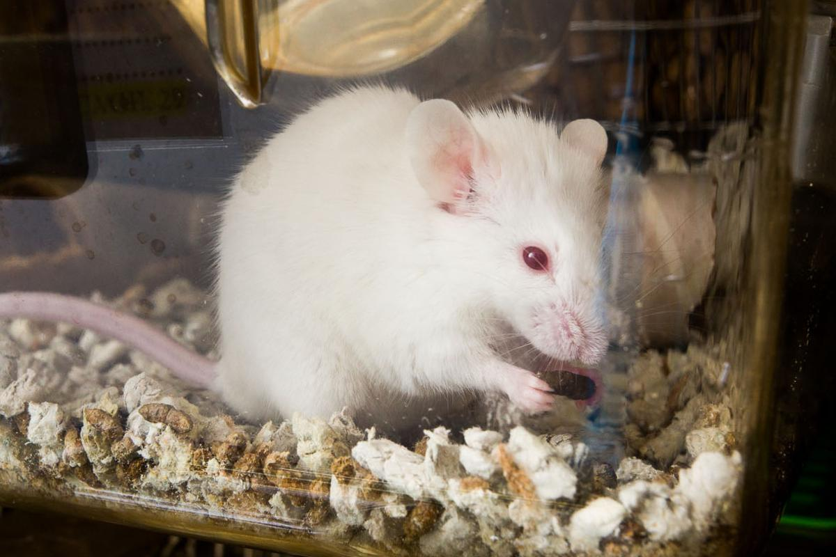 The research wouldn't have been possible without the use of genetically modified mice