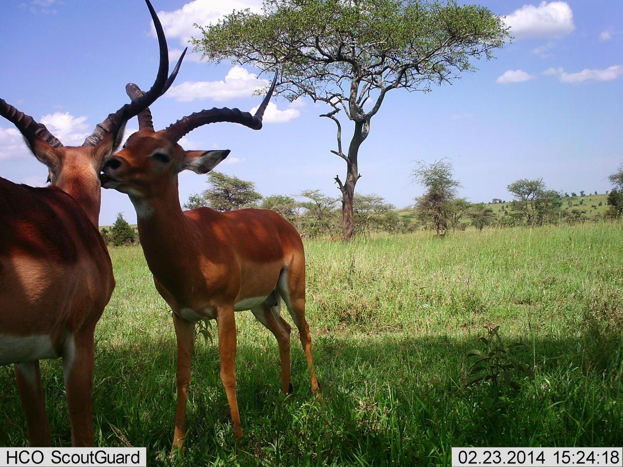 A camera trap photo, which the AI system correctly reported as a picture of two impala standing