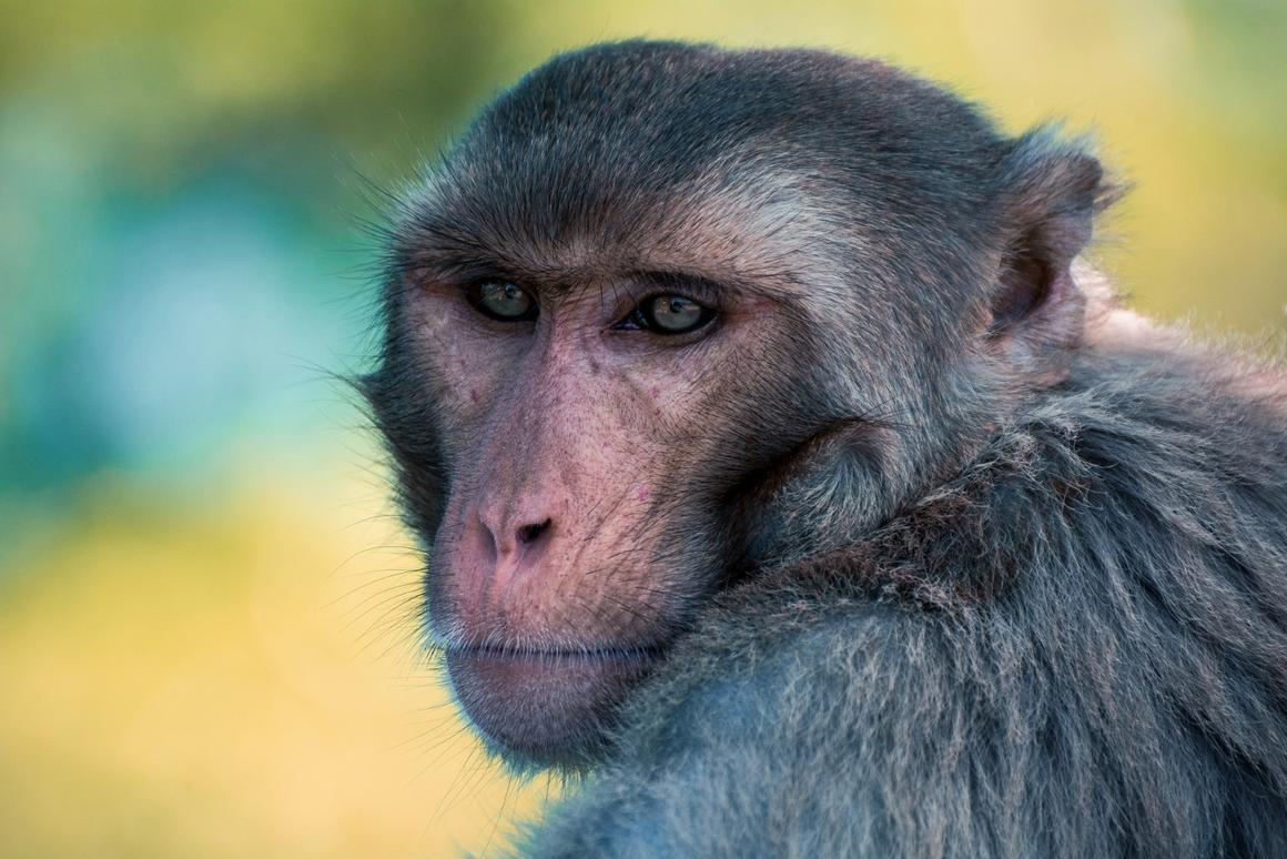 The researchers converted the brain signals of two rhesus macaques into control commands for a wheelchair