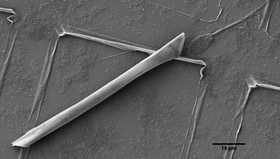 Scanning Electron Microscopic image of a rolled-up microtube, with the bull sperm cell at the tube's end (Photo: IFW Dresden, Germany)
