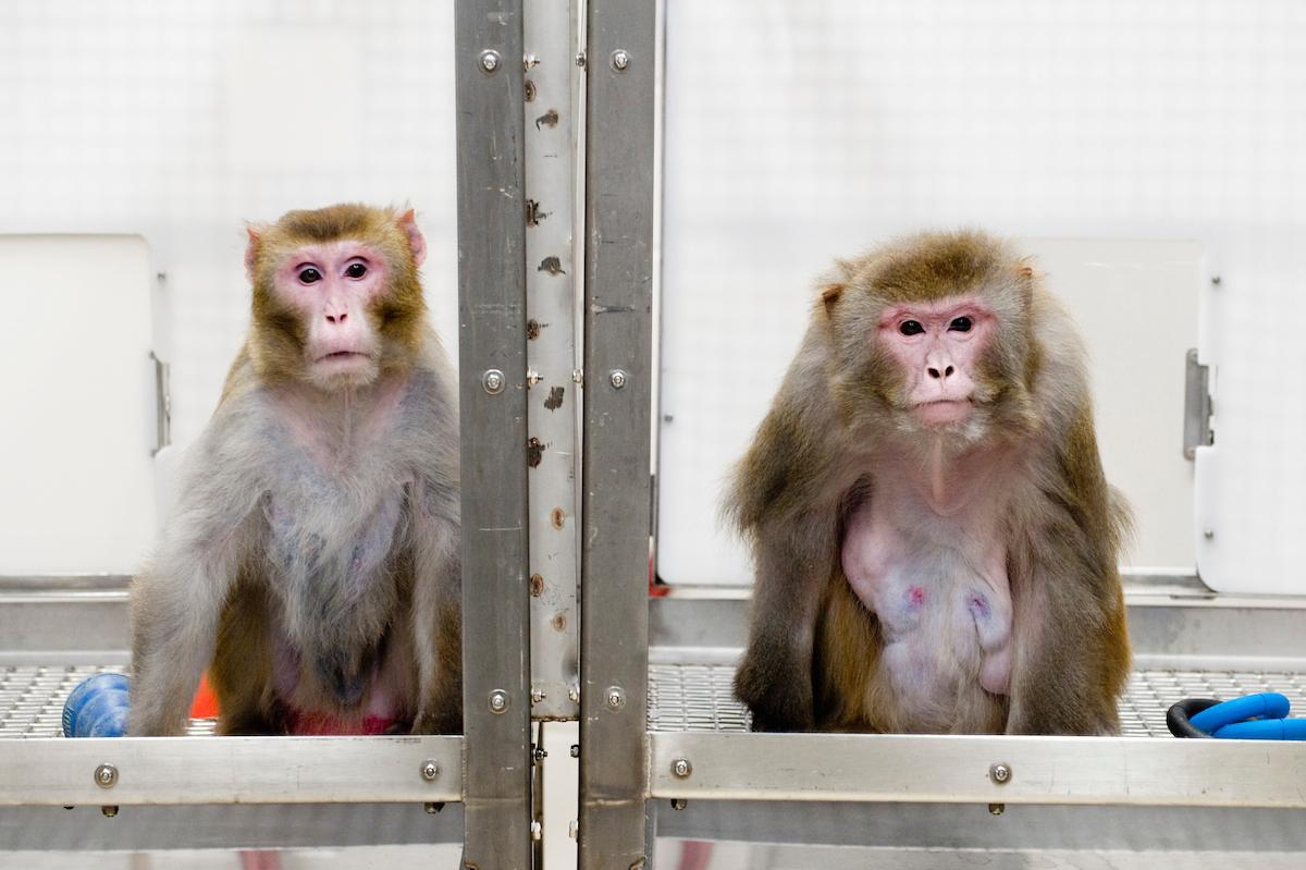 Taken in 2009, this photo shows two monkeys in a caloric restriction experiment: on the left is a 27-year-old monkey whosediet was restricted, while on the right isa 29-year-old who was fed a normal amount