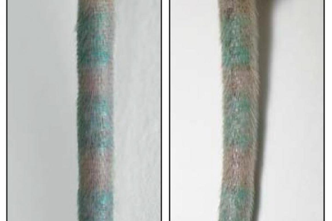 On the left is the tattooed mouse tail before the tattoo ink-holding macrophage cells were destroyed and on the right we see the tattoo still there despite the cells being eliminated