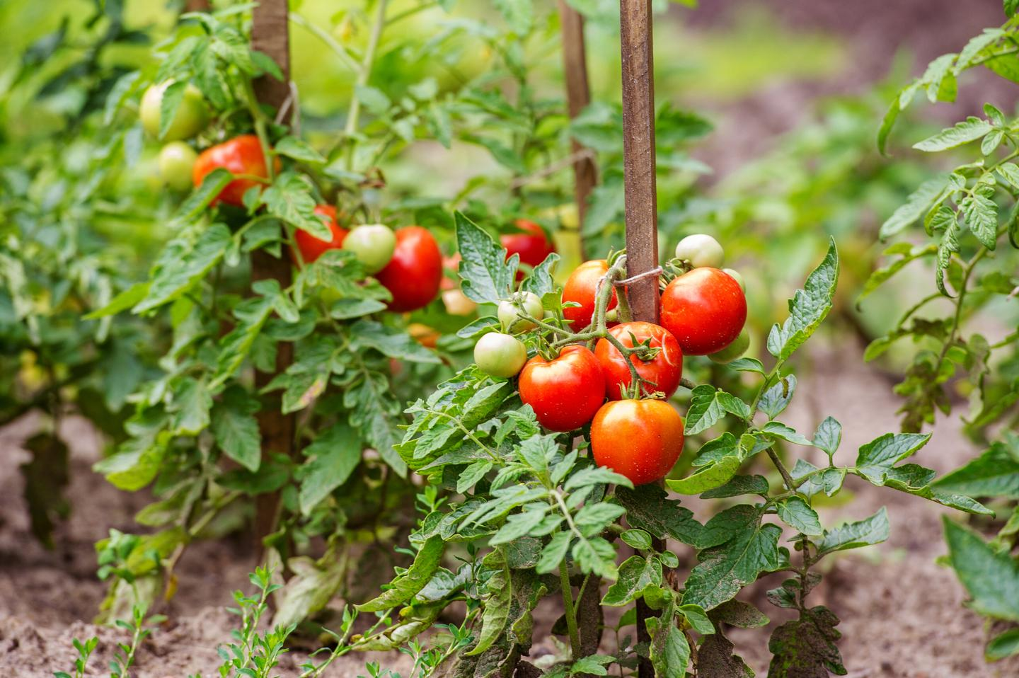 Tomatoes typically require a lot of fertilizer, which can be expensive and harmful to the environment