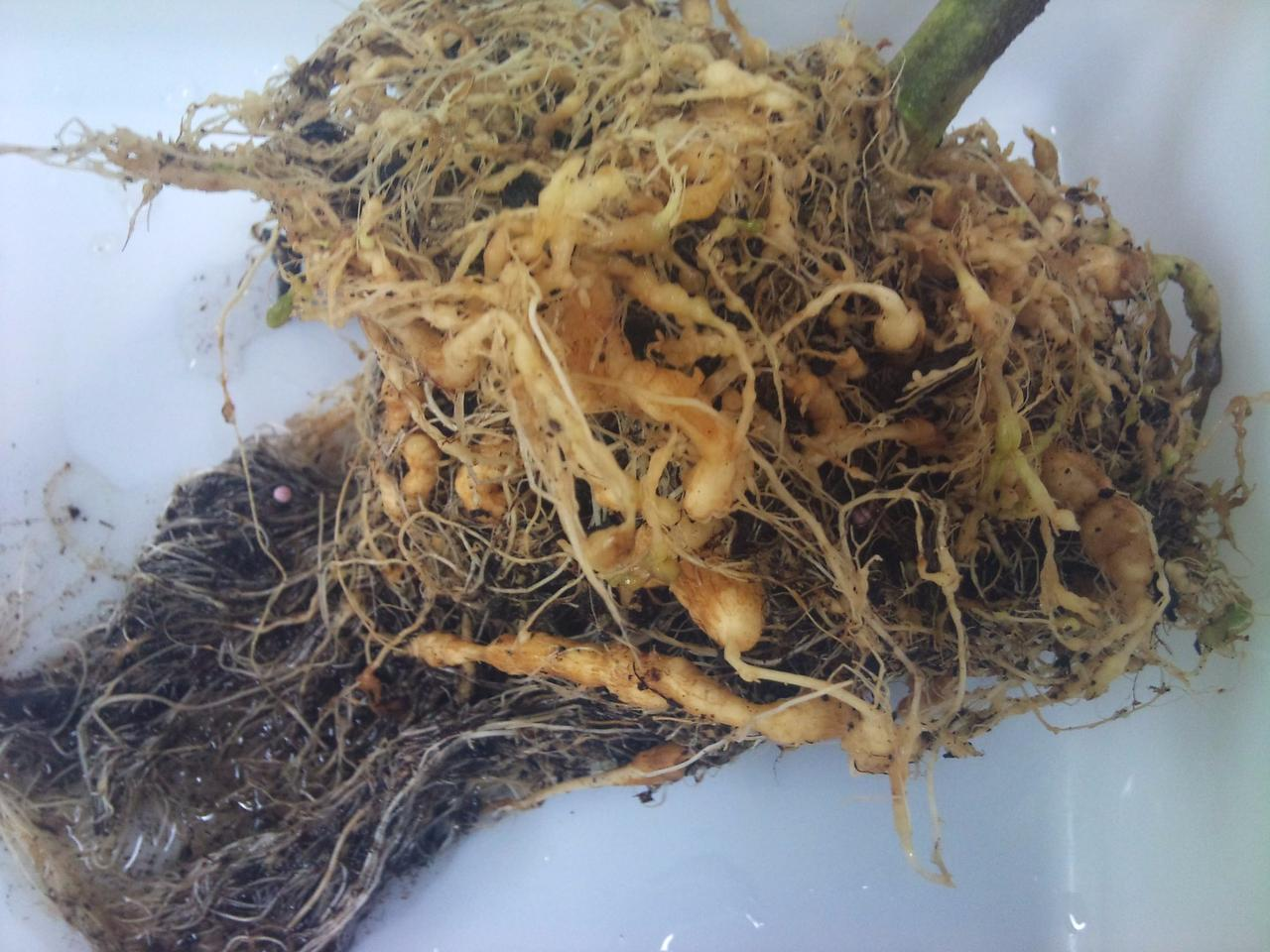 The swollen tell-tale signs of a tomato plant infected with the Southern root-knot nematode, an asexual parasitic worm that is the bane of farmers