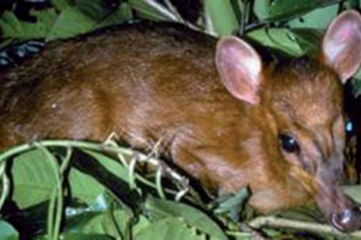 Among more than 350 species found in the eastern Himalayas is the world's smallest deer, the miniature muntjac, which stands only 20 inches tall