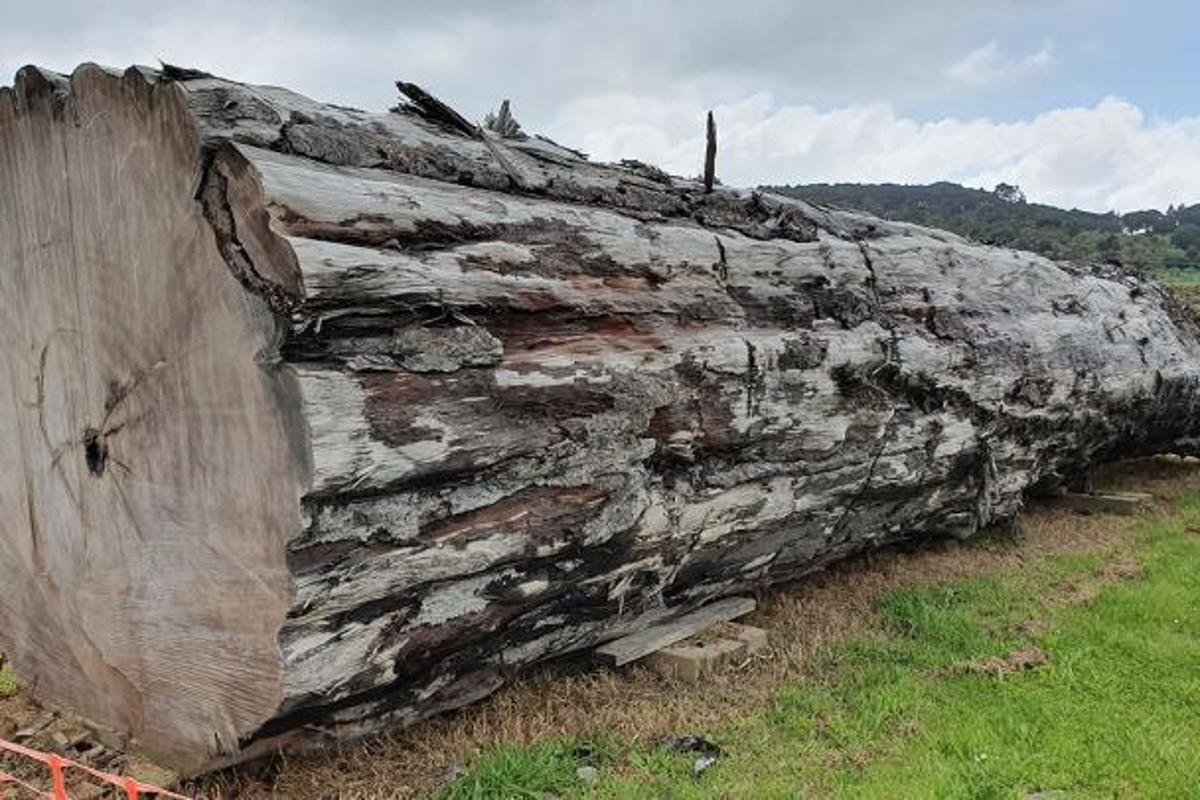 An ancient kauri tree log from Ngāwhā, New Zealand