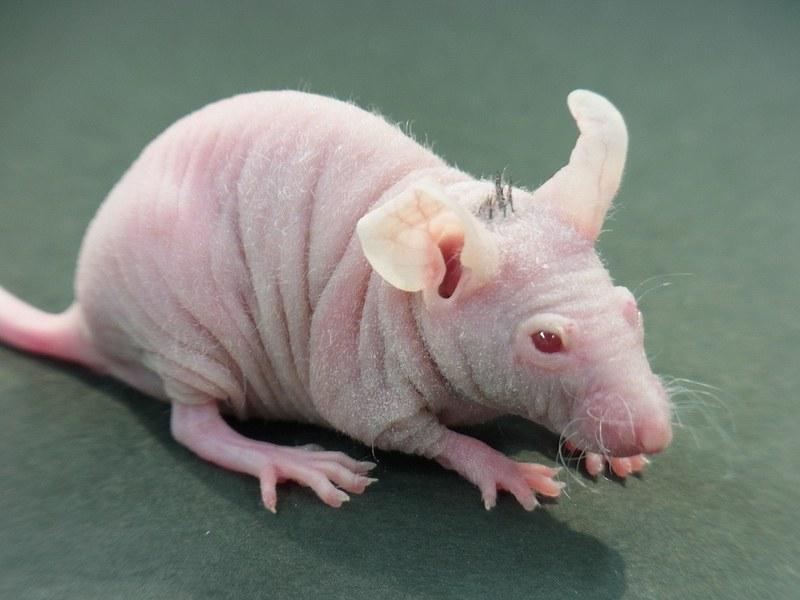 The bio-engineered follicle germ transplantation method allowed the scientists from the Tokyo University of Science to regenerate hair growth in hairless mice