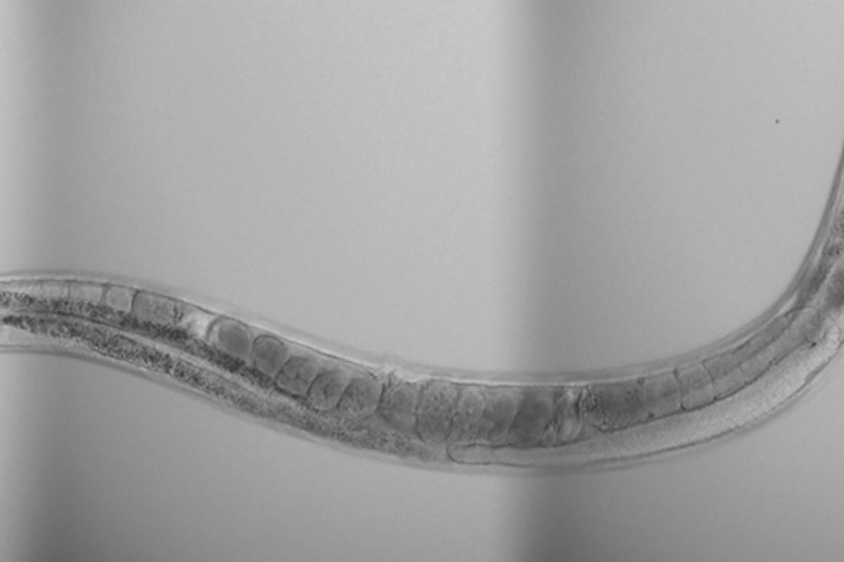 The research looked to explain why stressing the mitochondria of nematode worms during early development nearly doubles their lifespan