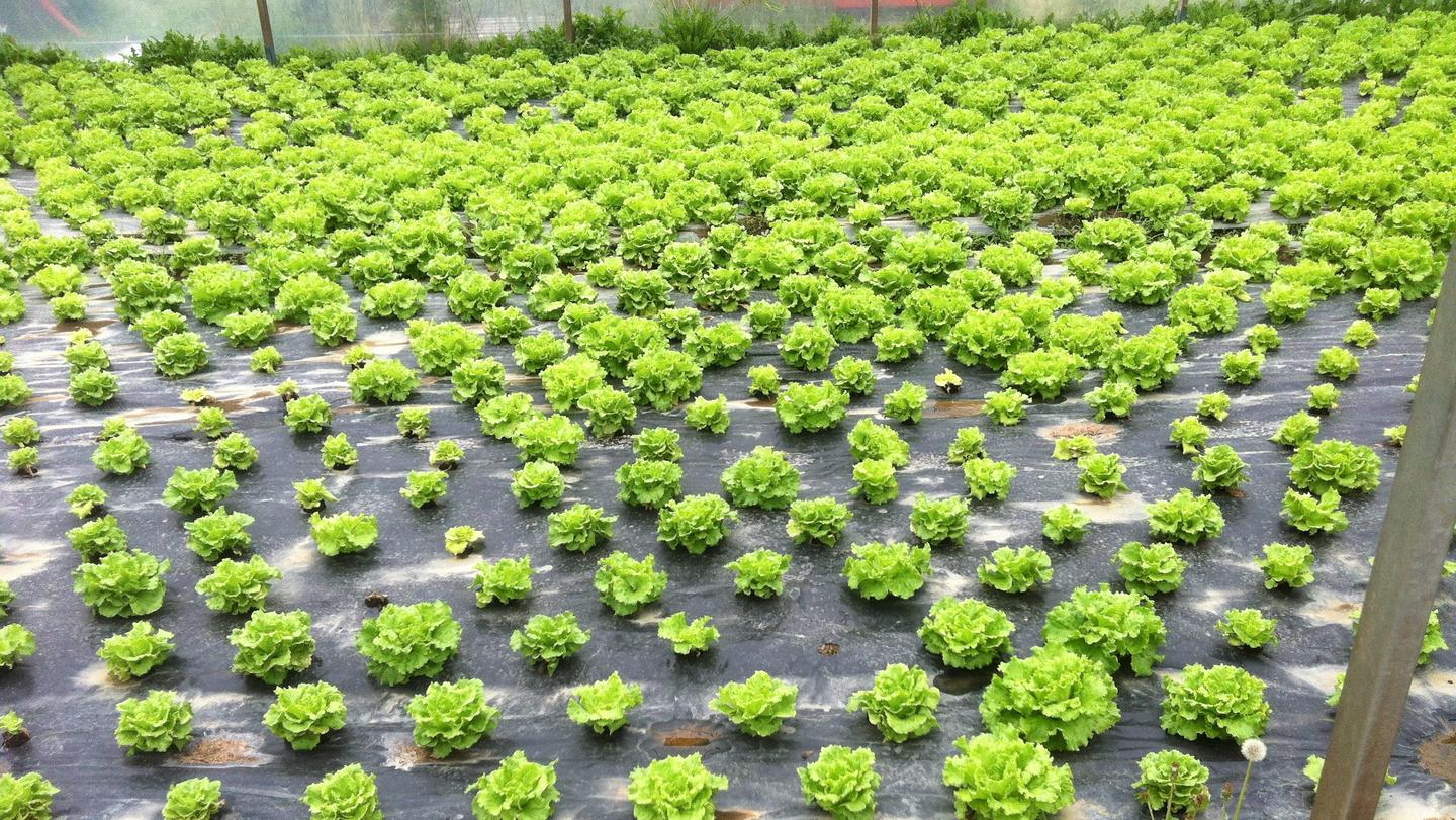 """A lettuce crop, pictured after """"biodisinfestation"""" via the bagasse/rapeseed cake/manure mixture"""
